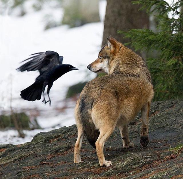 曾被奉為太陽神,如今卻專門拔屁股毛,烏鴉的進化到底經歷了什么